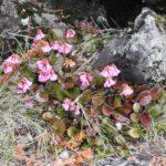 坪庭溶岩台地のコイワカガミ